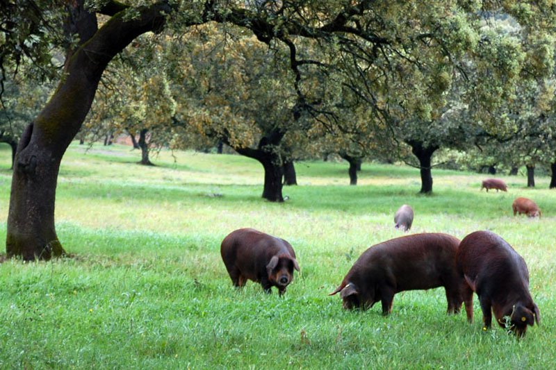 Andalucia pigs