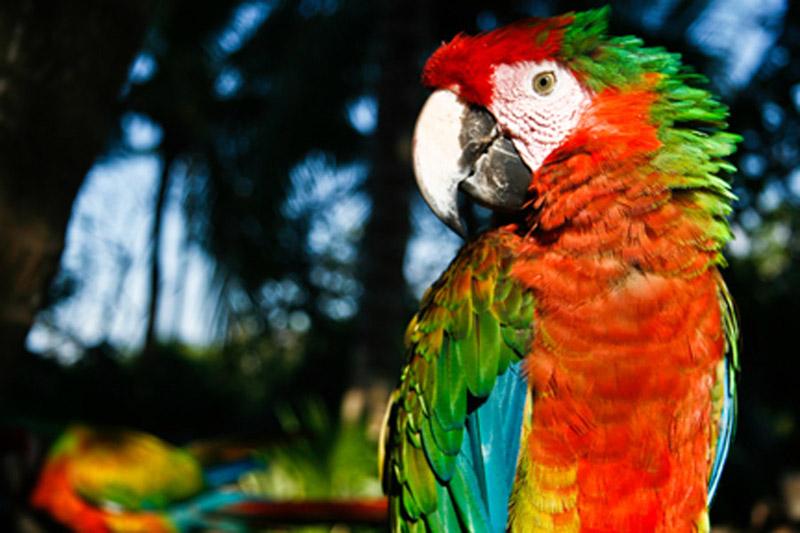 Mayans parrot